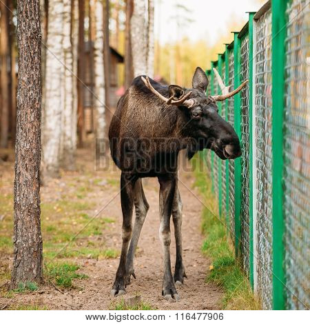 Wild male moose, elk in cage forest reserve