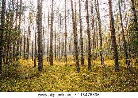 Wild autumn coniferous forest reserve. Belarus Nature