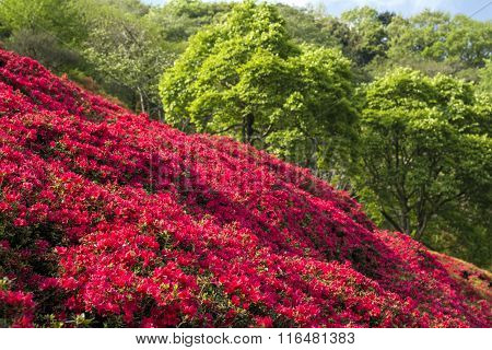 Bright red azalea field