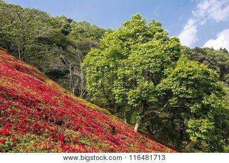 Bright red azalea field