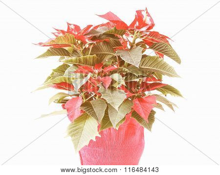 Retro Looking Poinsettia