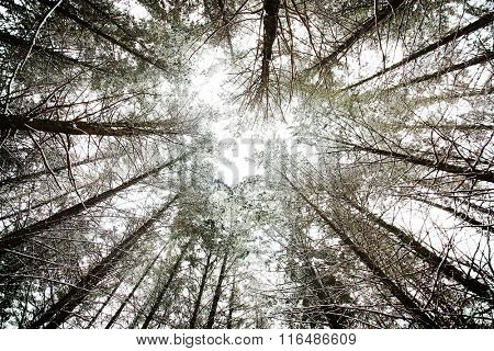 Thick forest of pine trees in winter