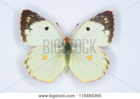 Berger's Clouded Yellow, Colias Alfacariensis Butterfly