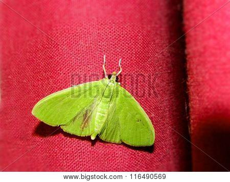 Snout Moth 1
