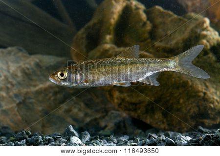 Predatory Fish Asp