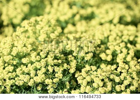 Bright yellow wild  flowers background