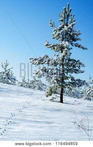 Snow-covered slope with pine and chain hare tracks