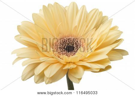Daisy Gerbera Flower on white