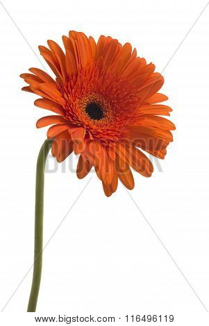 Daisy Gerbera Flower on white
