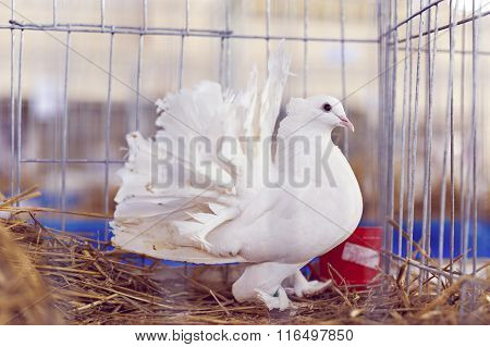 White Dove In The Cage, Pigeon Locked In A Cage.