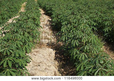 Tapioca or cassava farmland agriculture