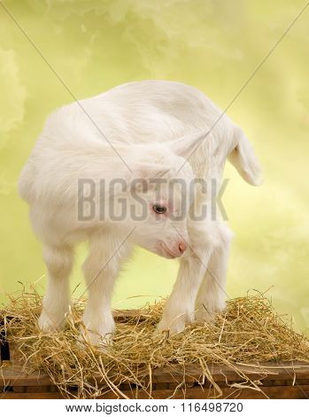 Ten days old little white baby milk goat