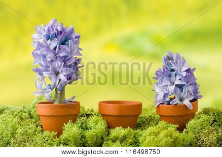 Three flower pots, two with blooming hyacinth plants and one with empty copy space