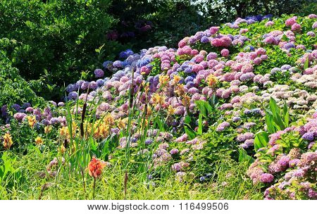 Massive hydrangeas of all colors in full bloom in the summer.