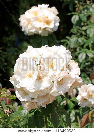 Hybrid tea rose, in summer Hybrid tea rose, in summer