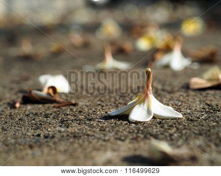 Plumeria Frangipani fallen lying on the ground