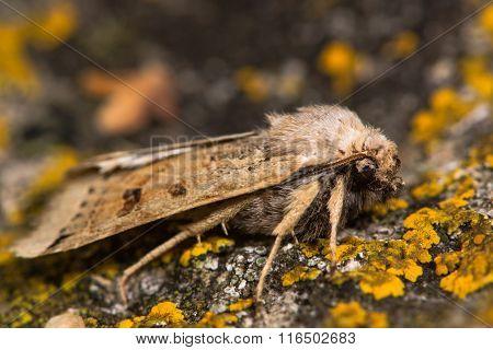 Lunar underwing moth (Omphaloscelis lunosa)