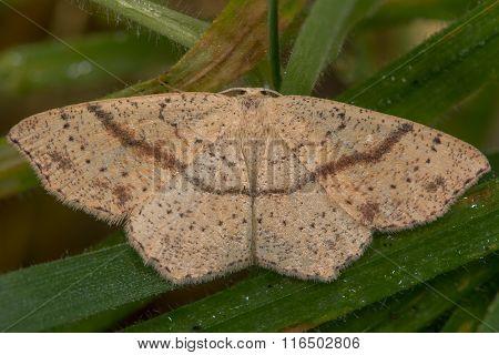 Maiden's blush (Cyclophora punctaria) moth