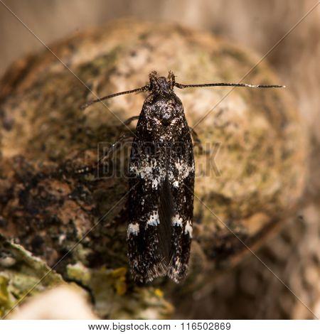 Oegoconia quadripuncta micro moth