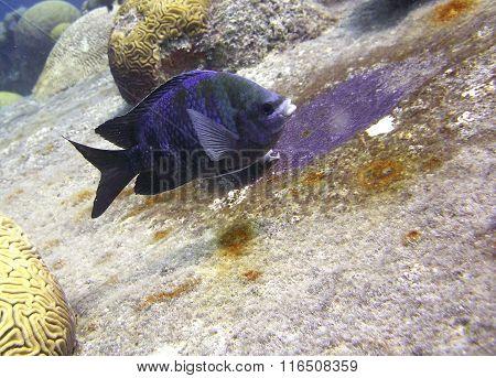 Sargent Major Trpical Fish