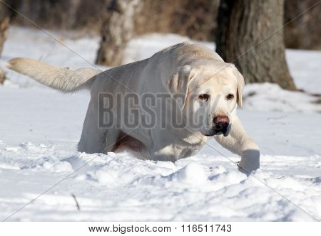 The Yellow Labrador In Winter In Snow