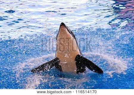Mammal Orca Killer Whale Fish