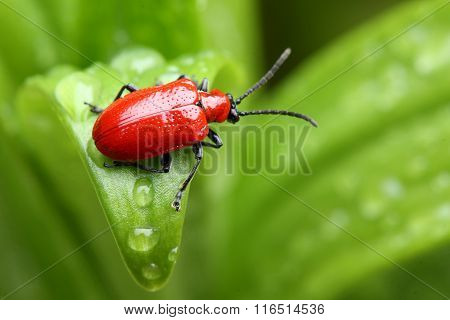 Close-up of lily beetle