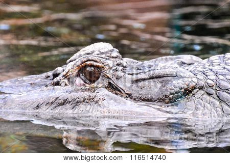 Amphibian Beautiful Animal Crocodile
