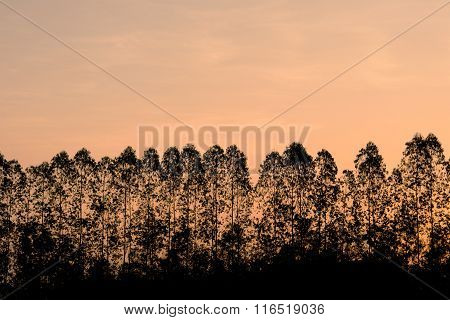 Silhouette Eucalyptus Tree On Orange Sky In Morning Time