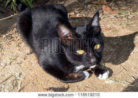Thai Cat - Black Body And Yellow Eye