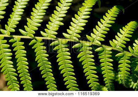 Beautiful Leaf Of Fern Is Close-up Background