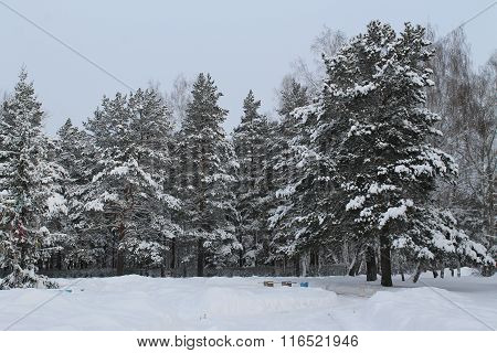 the winter snow-covered pine forest