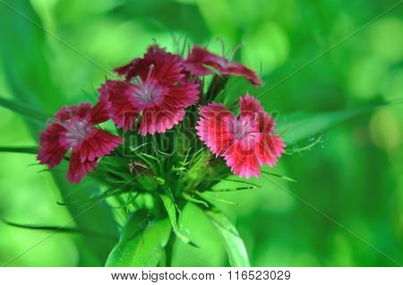Inflorescence Of Small Carnations Growing In The Garden