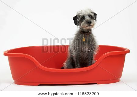 Studio Shot Of Pet Lurcher Sitting In Red Dog Bed