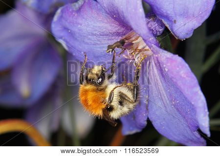Common Carder-bee (bombus Pascuorum)