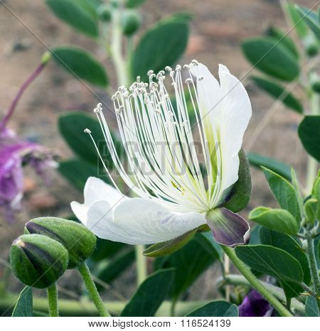 The Grassy Flower Of Capers.