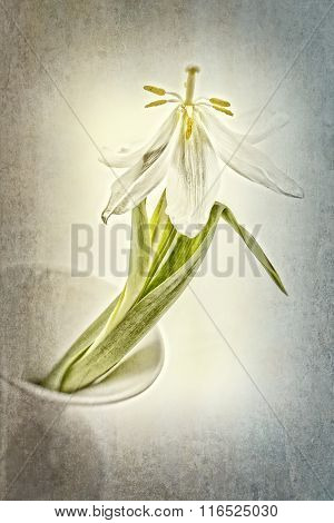 Withered tulip in a vase with texture overlay