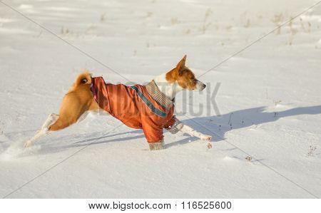 Basenji dog galloping in fresh snow
