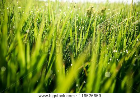 Fresh Green Grass With Water Drops On The Background Of Sunlight Beams. Soft Focus