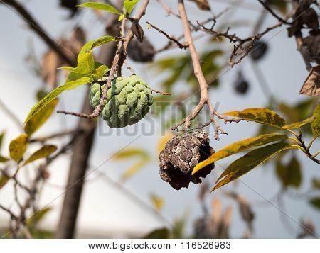 Survivor Custard Apple On Tree, Select Focus