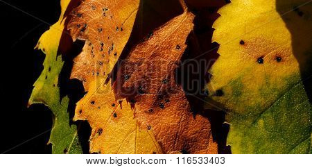 yellow and brown sere leaves clouseup