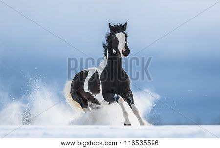 American Paint horse running gallop across a winter snowy field