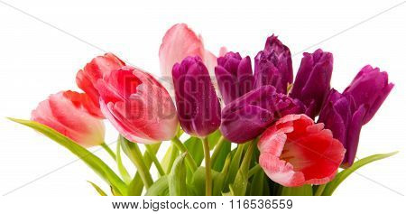 Purple and pink tulips bouquet isolated on white.