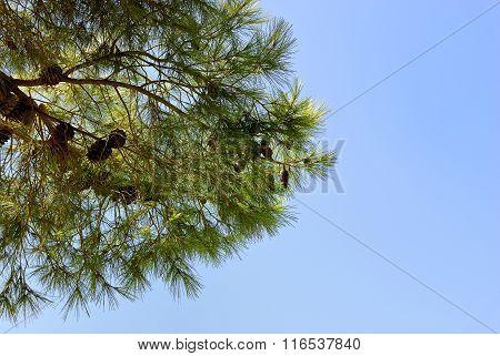 The branch of fir.
