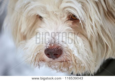 Face Of Havanese Dog With Snow On The Snout