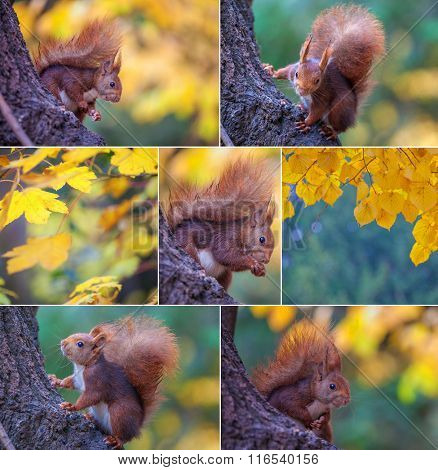 composite set of red squirrel in tree