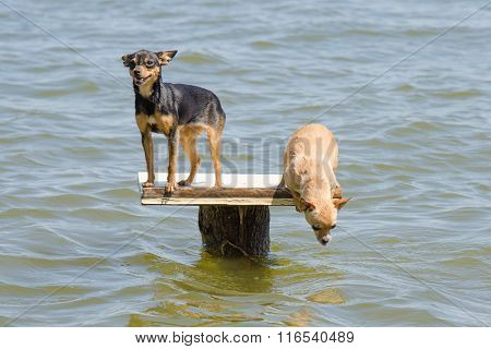On The Table On The River Two Dogs - Russian Toy Terrier And Chihuahua Who Wants To Jump Into The Wa