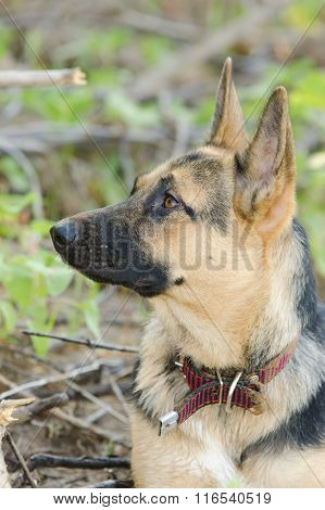 Portrait In Profile Of A Half-breed Dog Yard And A German Shepherd Who Looks Up