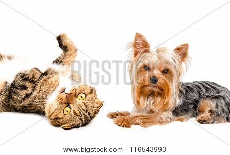 Portrait of Yorkshire terrier and cat Scottish Fold