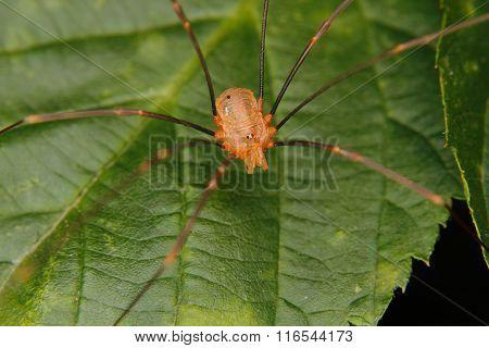 Daddy Longlegs (phalangium Opilio)